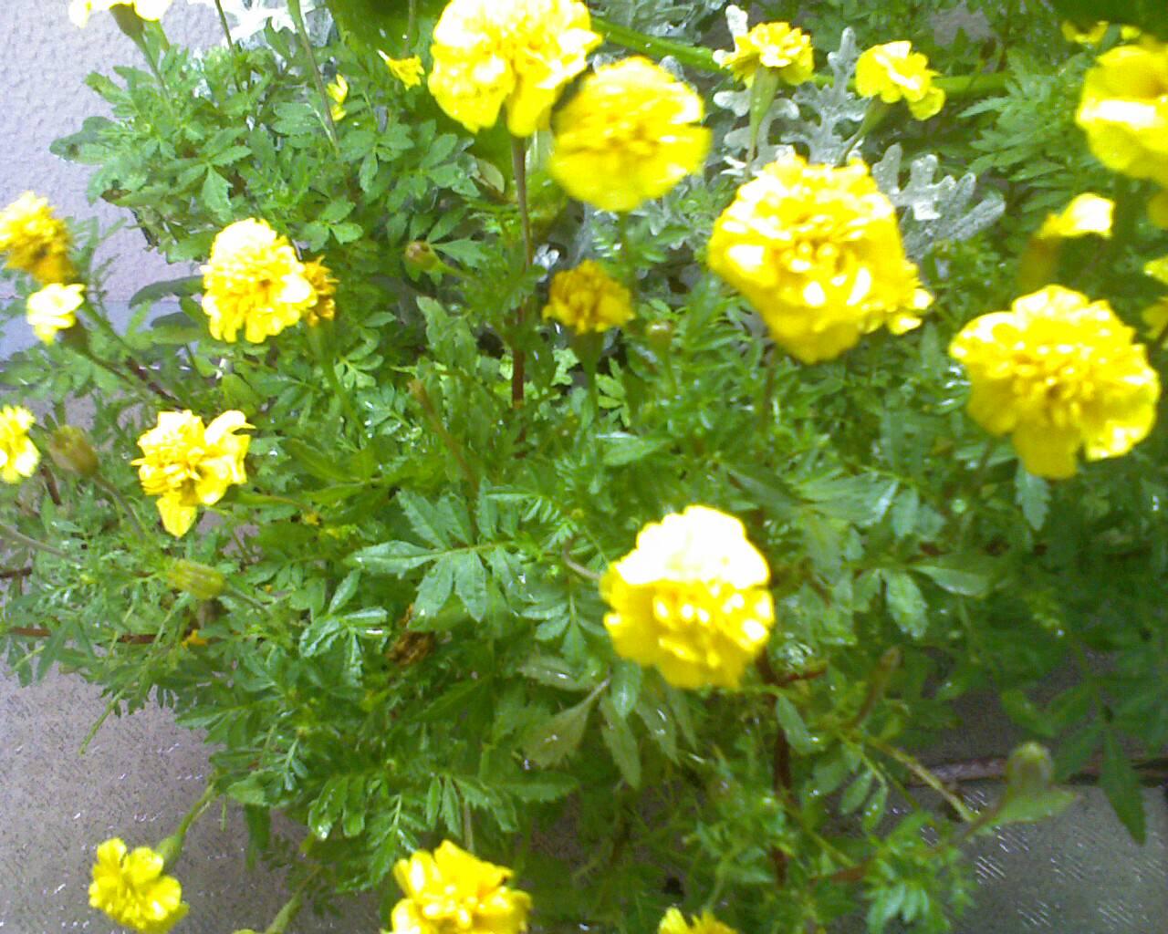Centro_Flower